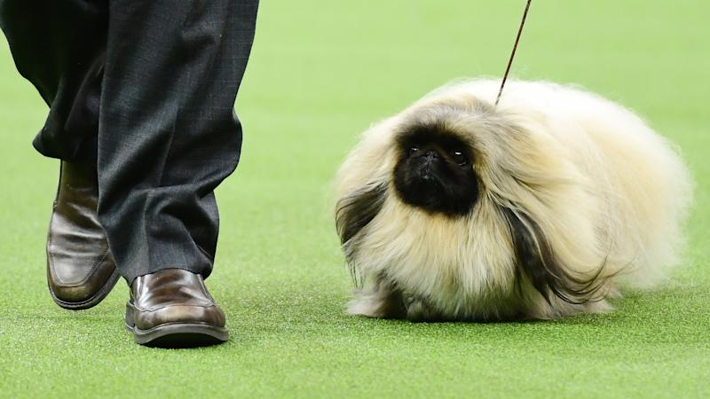 What channel is the Westminster Dog Show on today? Time, TV schedule for 2020 competition