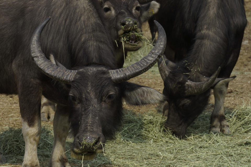 Ap Photos Year Of Ox Puts Focus On Hong Kong S Wild Bovines