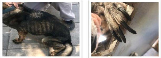 Photos taken in Jordan in 2017 show an underweight canine (left) and a canine needing its nails trimmed. (Photo: oversight.gov)