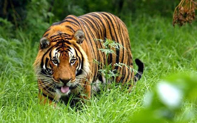 Tiger starves to death at Corbett Tiger Reserve