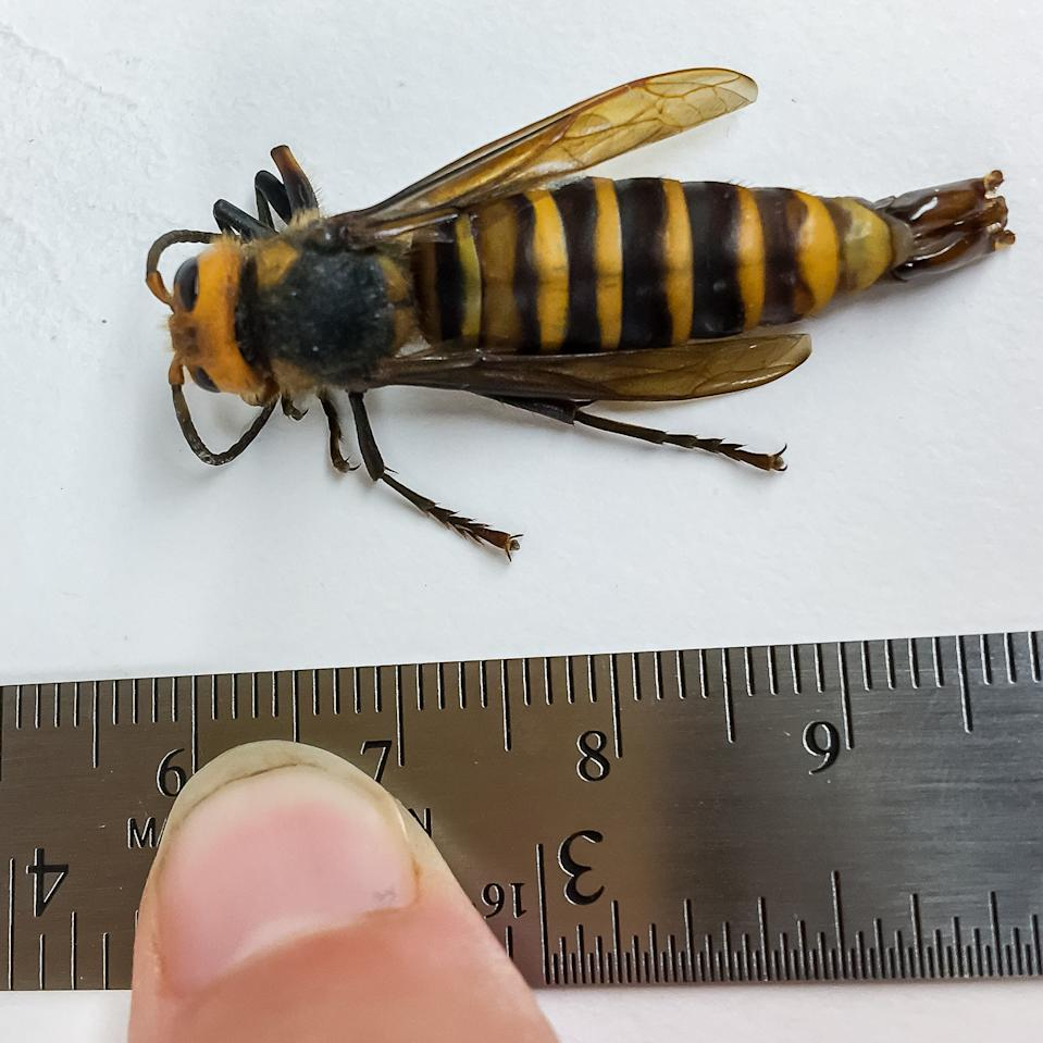 The first male 'murder hornet' ever detected in the United States was captured in Washington State.
