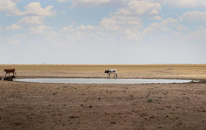 CANADIAN, TX - JULY 28: Cattle rest at a watering hole in a pasture July 28, 2011 near Canadian, Texas. A severe drought has caused shortages of grass, hay and water, in much of the state, forcing ranchers to thin their herds or risk losing their cattle to the drought. The past nine months have been the driest in Texas since record keeping began in 1895, with 75% of the state classified as exceptional drought, the worst level. (Photo by Scott Olson/Getty Images)