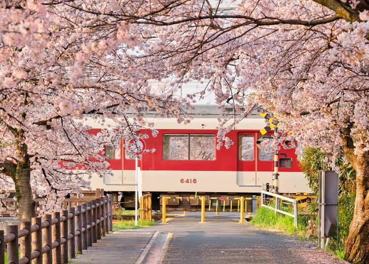 The combination of trains and cherry blossoms is a beloved sight