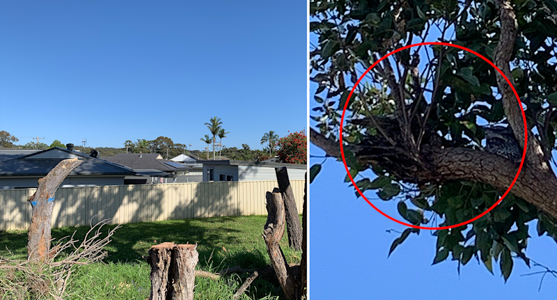 The tawny frogmouths nesting in the tree (right) before it was cut down left. Source: Michael Dahlstrom
