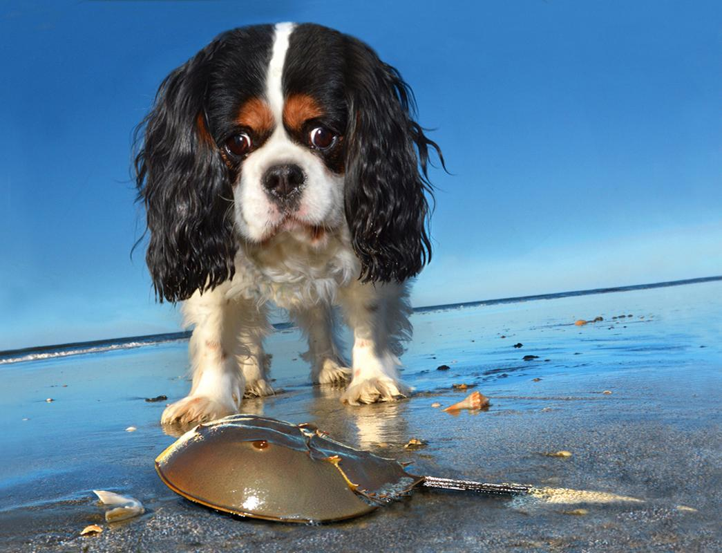 <p>Lucky, King Charles spaniel, Kiawah Island, S.C. (Photograph by Lara Jo Regan) </p>