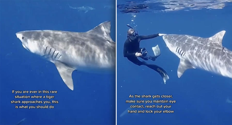 Tiger sharkAndriana Fragola is approached by a huge tiger shark while swimming in waters off Hawaii.