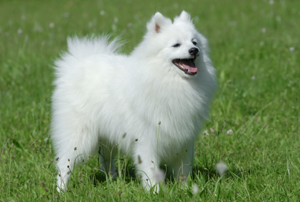 The Japanese spitz resembles a fox (Picture: Rex)