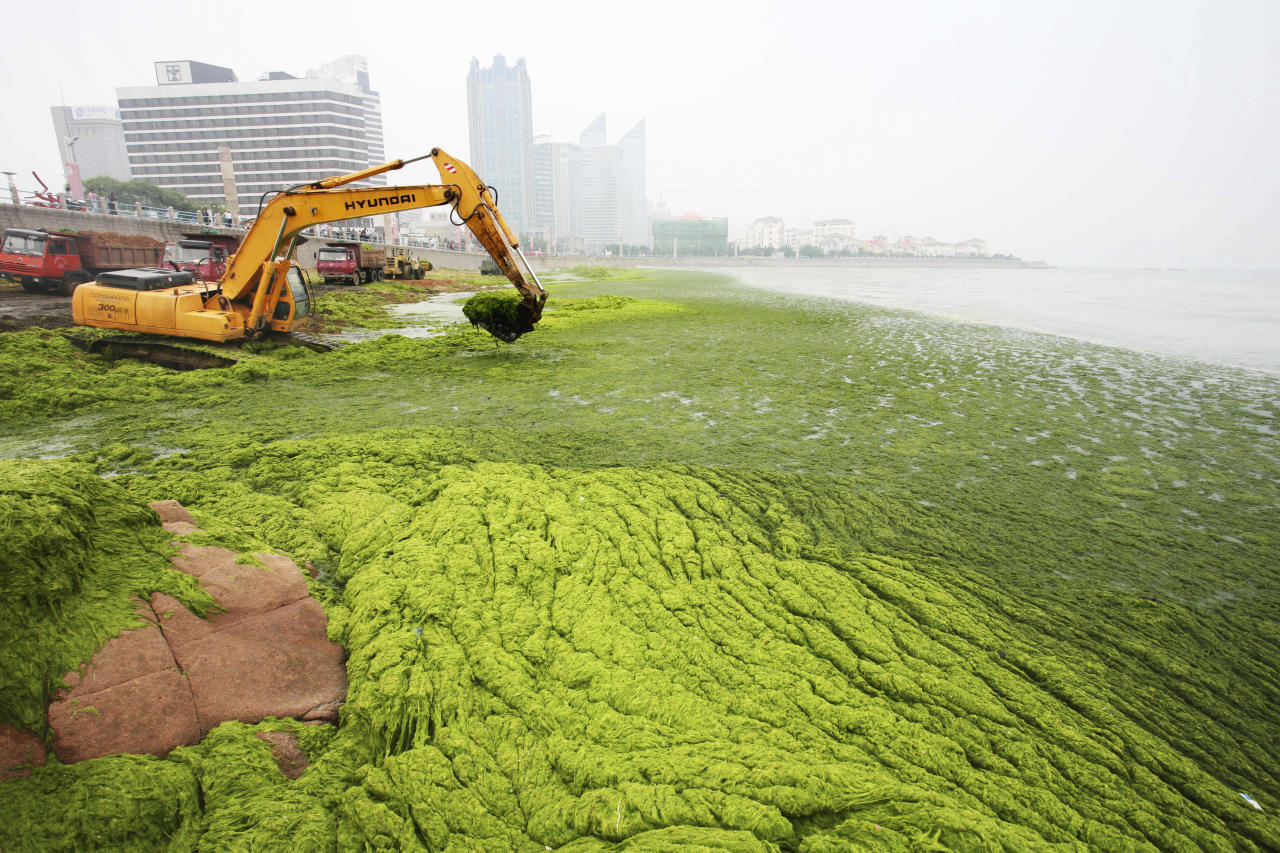 Algae is cleared away along the coastline of Qingdao, Shandong province, July 2, 2008. China's Olympic co-host city Qingdao has appealed for help from nearby ports to contain an algae bloom that has coated large swathes of offshore waters in green muck.   REUTERS/China Daily