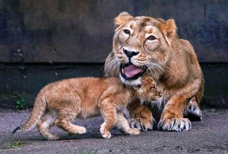 FILE PHOTO : A female Asian lion is seen next to a cubs in the Planckendael zoo in Mechelen