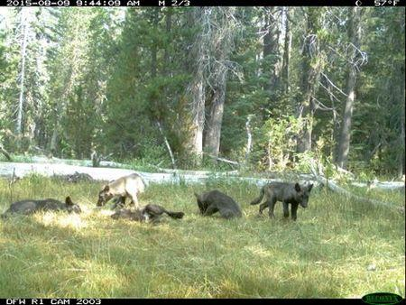 Handout photo of wolf pack in Siskiyou County, California