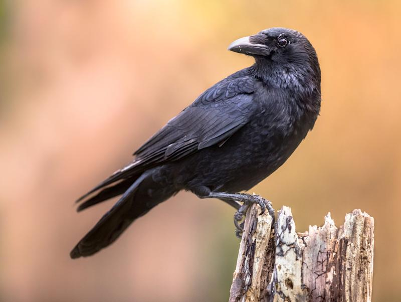 Researchers in Germany have discovered crows are capable of consciously perceiving sensory impressions (Getty Images/iStockphoto)