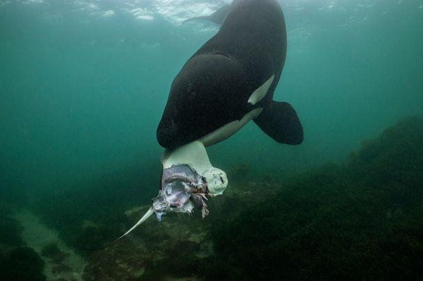 PHOTO: Orca hunting rays in the waters off of the North Island in New Zealand.  (Brian Skerry)