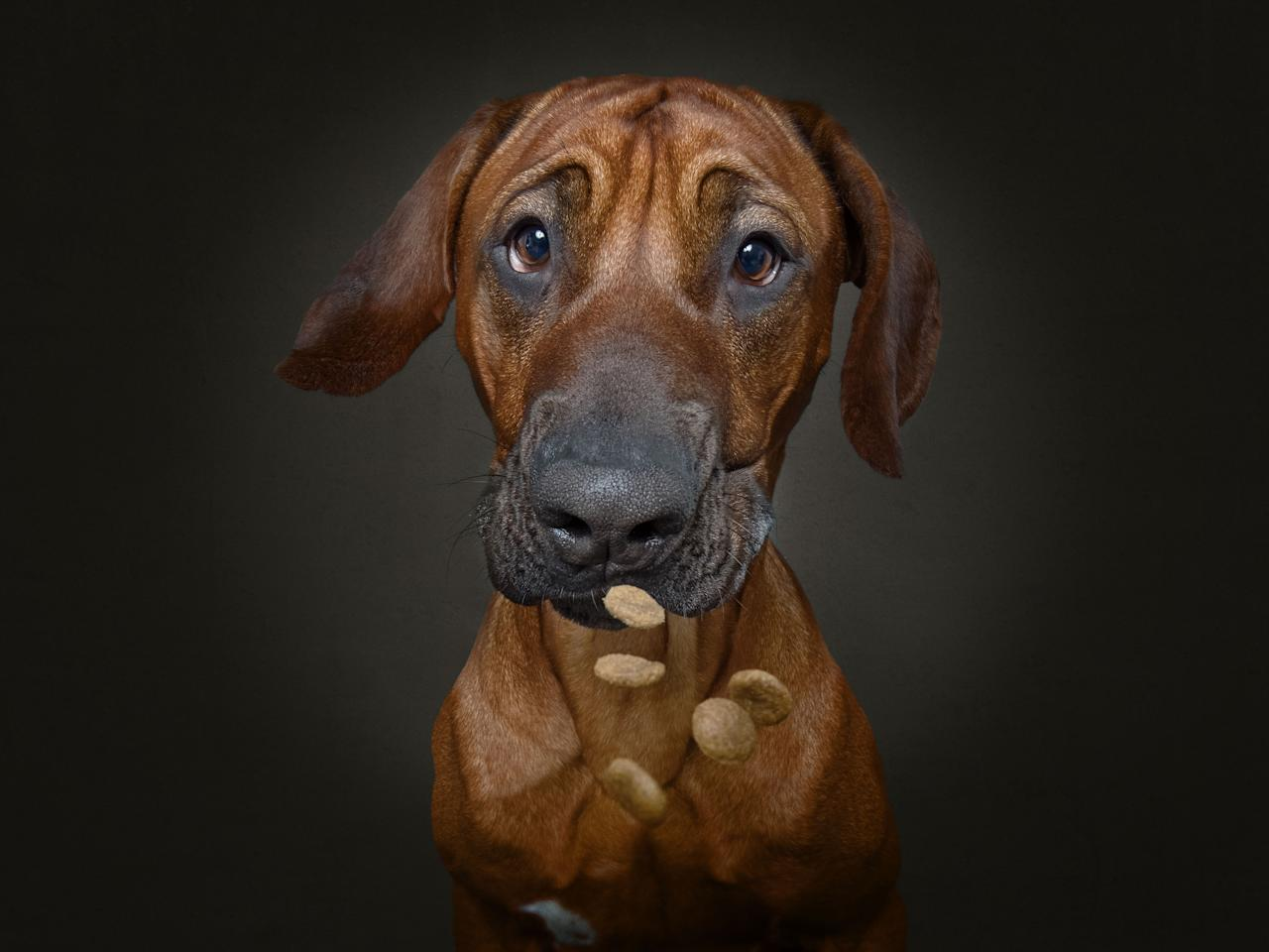<p>Hudson the Rhodesian ridgeback. (Photo: Christian Vieler/Caters News) </p>