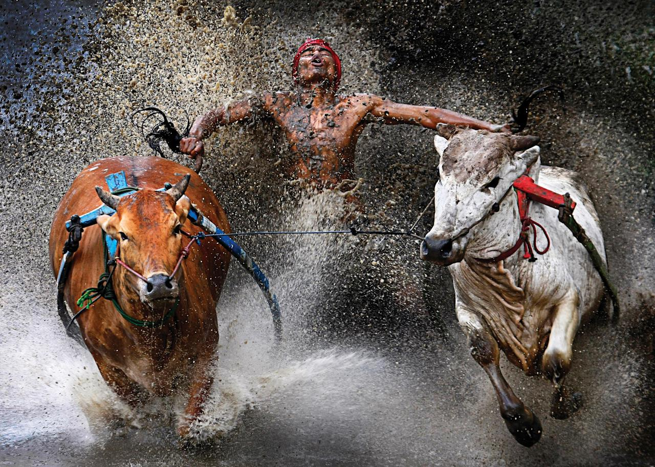 <p>Weu Seng Chen, from Malaysia took first prize at the World Press Photo awards in the sports category for his picture of the Pacu Jawi in Indonesia. The Pacu Jawi (bull race) is a popular competition at the end of harvest season keenly contested between villages (Wei Seng Chen, Malaysia)</p>