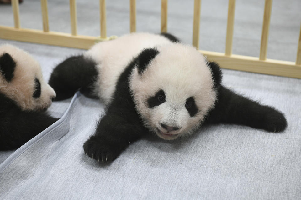 This photo released by Tokyo Zoological Park Society shows giant panda twins, male Xiao Xiao, right, and female Lei Lei, 103 days after they were born at Ueno Zoo in Tokyo Monday, Oct. 4, 2021. The twin cubs, which were palm-size pink creatures when born on June 23, got their names Friday, Oct. 8, 2021, chosen from hundreds of thousands of suggestions sent from fans around the country. (Tokyo Zoological Park Society via AP)