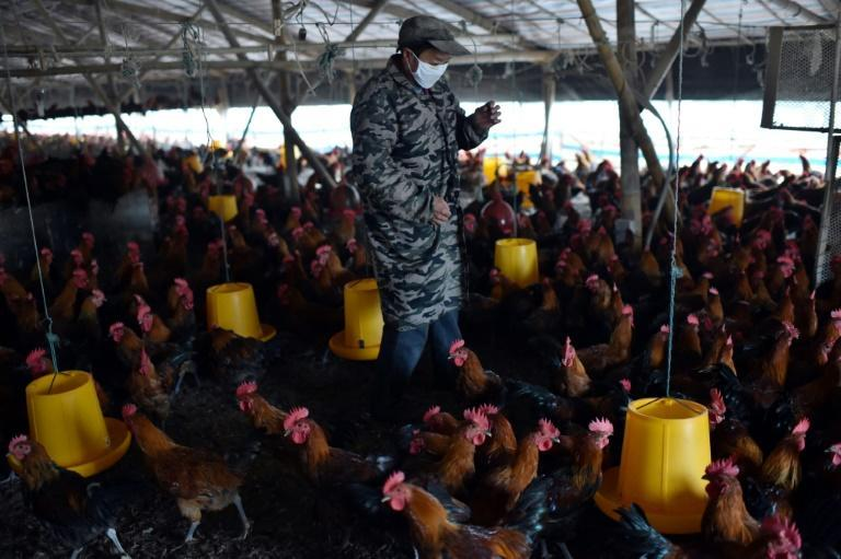 Intensive animal farming can be a petri dish for antibiotic-resistant bacteria to develop