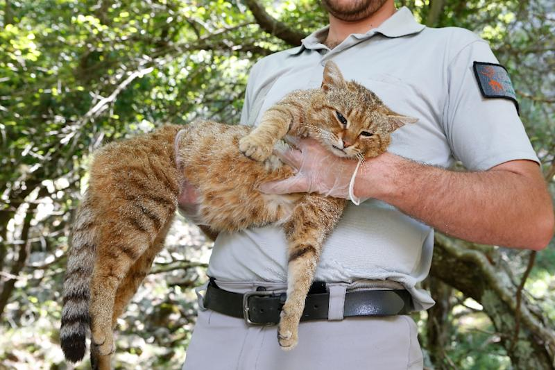 """Wildlife rangers in Corsica believe that felines they have been researching, known as """"cat-foxes"""", are a new, as yet unclassified species (AFP Photo/PASCAL POCHARD-CASABIANCA)"""