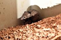 Mice continue to chew through grain and hay stocks in eastern Australia, which has been hit by its worst feral infestations in living memory