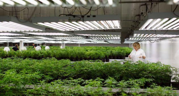 A production assistant grooms marijuana plant clones at Tweed Marijuana in Smiths Falls, Ont., Feb. 20, 2014. Today the facility is owned by Canopy Growth, one of the world's largest cannabis producers.