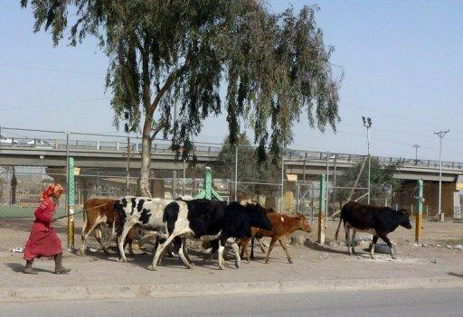 An Iraqi woman herds her cows towards public gardens to graze in Baghdad as farmers suffer from the lack of water