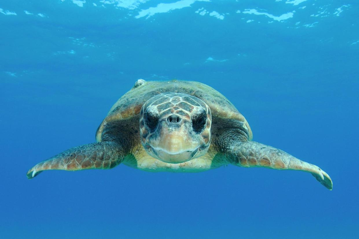 Programme Name: Animals with Cameras S2 - TX: n/a - Episode: Animals with Cameras S2 - Oceans (No. Oceans) - Picture Shows: Adult, female Loggerhead Sea Turtle.  - (C) Shutterstock - Photographer: Matteo photos