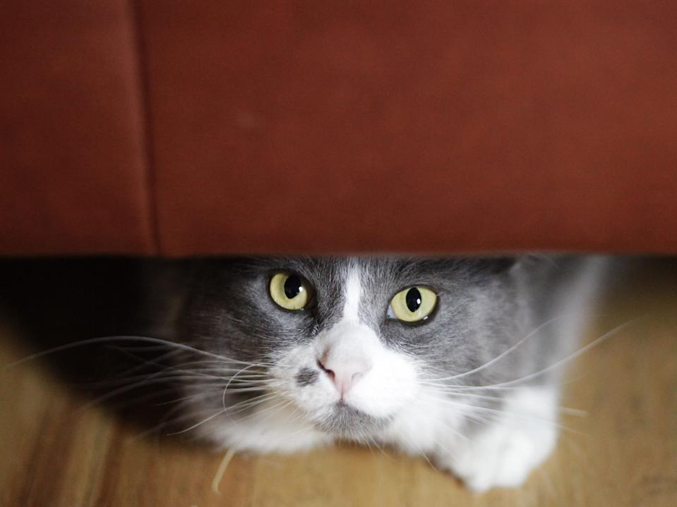cat nervous scared hiding under couch