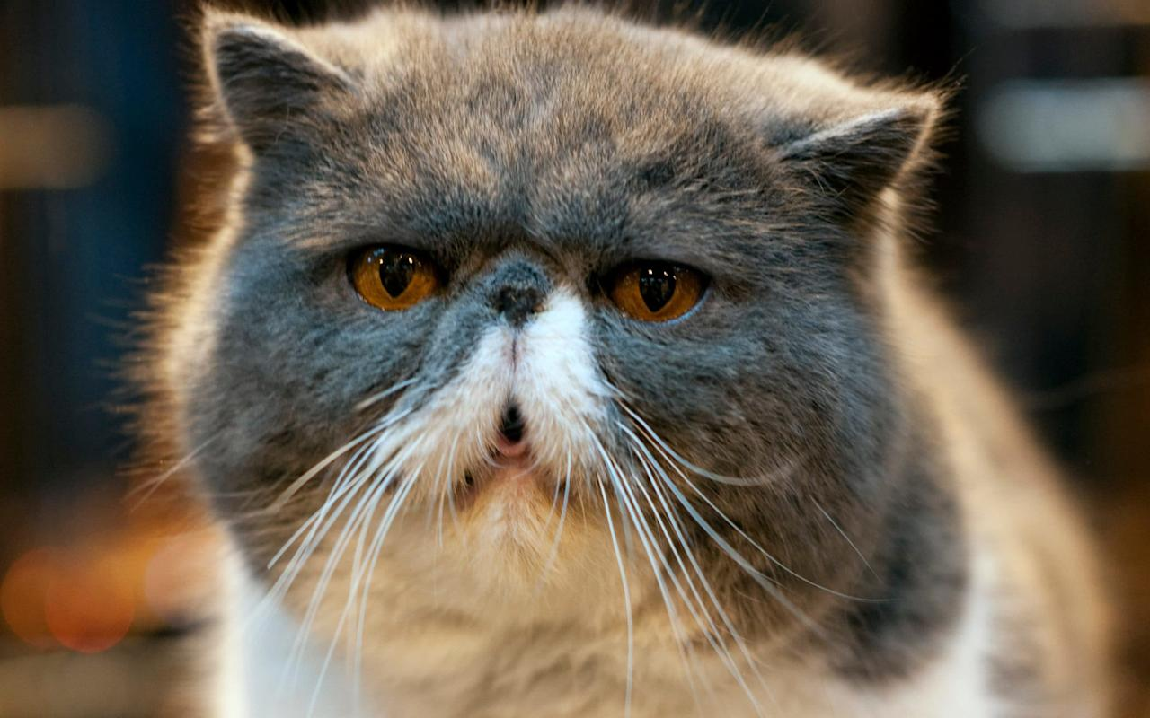Health fears grow over fashionable 'grumpy' flat-faced cats