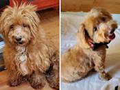 """<p>Patterson came to Texas' <a href=""""http://www.austincockerrescue.org/"""" rel=""""nofollow noopener"""" target=""""_blank"""" data-ylk=""""slk:Cocker Spaniel Rescue of Austin"""" class=""""link rapid-noclick-resp"""">Cocker Spaniel Rescue of Austin</a> with a broken jaw that needed treatment. To help heal the injury, Patterson wore a soft muzzle for several weeks. While the muzzle helped the dog's jaw, it left him with matted fur and irritated skin. A loving and delicate makeover helped Patterson with both of those issues. The adorable dog got 3rd place in this year's contest, with a $1,000 grant going to the rescue that helped him transform. </p>"""