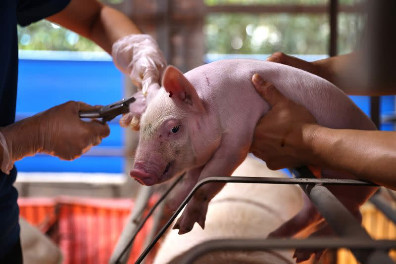 Staff make marks on a pig on a farm in Pingtung