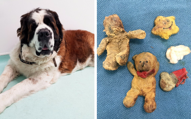 "A dog feared to cancer had actually eaten four teddy bears, but the vet did not realise until halfway through the operation. Eight-year-old St Bernard Maisy was taken for a CT scan after she was taken ill, which showed a mass on her spleen and an unusually full stomach, seemingly showing she had not digested her food properly. Her owner, Jane Dickinson, from Dewsbury in West Yorkshire, feared the worst as she took her pet to Paragon Veterinary Referrals in Wakefield. It would not be unusual for Maisy, an elderly dog, to have cancer at her advanced age. However, vet surgeon Nick Blackburn ruled out any fatal disease when he carried out the operation to remove Maisy's spleen and found her stomach was full of soft toys. Maisy is now reportedly 'loving life' Credit: Paragon Vet Referrals / SWNS.com He said : ""It's fair to say this was not something we were expecting to find! We all know certain dogs enjoy chewing things they shouldn't but managing to devour four full teddy bears is quite a feat. ""I know Jane was worried about Maisy as she is quite old for a St Bernard, so we were naturally delighted the operation was such a success and we were able to return a happy, healthy dog to the Dickinsons."" Her owner said she had never seen the gentle giant chewing or eating toys, but that now the operation has been completed Maisy is ""loving life"". An x-ray showing the teddy bears within the stomach. Credit: Paragon Vet Referrals / SWNS.com Ms Dickinson explained: ""When Maisy went in I did think 'is she coming out?' but she is loving life now - it's like she's got her youth back. ""The toys weren't even hers! She will steal the chihuahuas' toys and play with them but I've never seen her trying to chew them. Her eating habits had been completely normal. ""I didn't even recognise one of the toys - my brother also keeps chihuahuas and it turns out it belonged to his dog."" Maisy has since made a full recovery from her operation and a histology report has shown no signs of cancer."