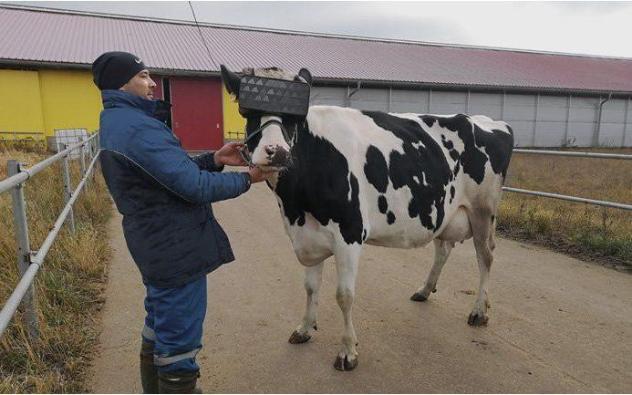 A Russian dairy farm has strapped virtual reality headsets to its cows in an experiment to