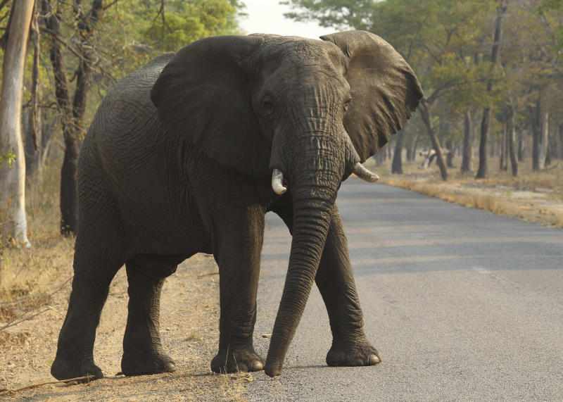 In this Thursday, Oct. 1, 2015 file photo an elephant crosses a road in the Hwange National Park, in Hwange, Zimbabwe.