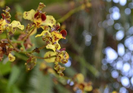 Cigar Orchids (Cyrtopodium punctatum) are seen at Fairchild Tropical Botanic Garden in Miami, Florida April 8, 2014. REUTERS/Zachary Fagenson