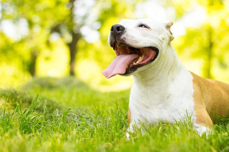 Montreal is set to lift restrictions on pit bull adoption and ownership.