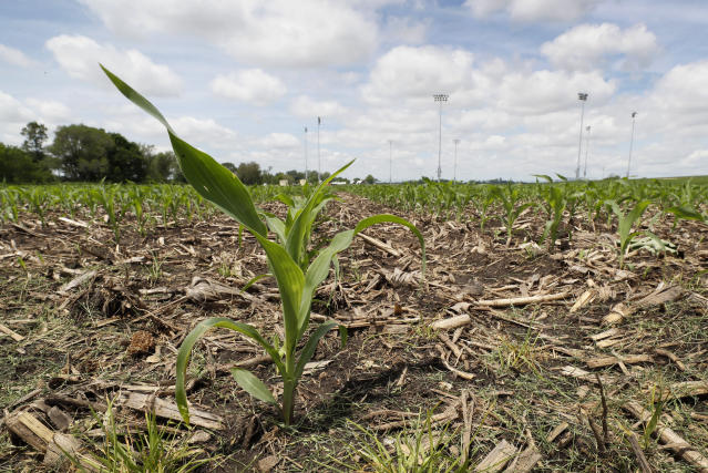 Light stands in the distance from a field being built by Major League Baseball can be seen as a corn plant grows at the Field of Dreams movie site, Friday, June 5, 2020, in Dyersville, Iowa. Major League Baseball is building the field a few hundred yards down a corn-lined path from the famous movie site in eastern Iowa but unlike the original, it's unclear whether teams will show up for a game this time as the league and its players struggle to agree on plans for a coronavirus-shortened season. (AP Photo/Charlie Neibergall)