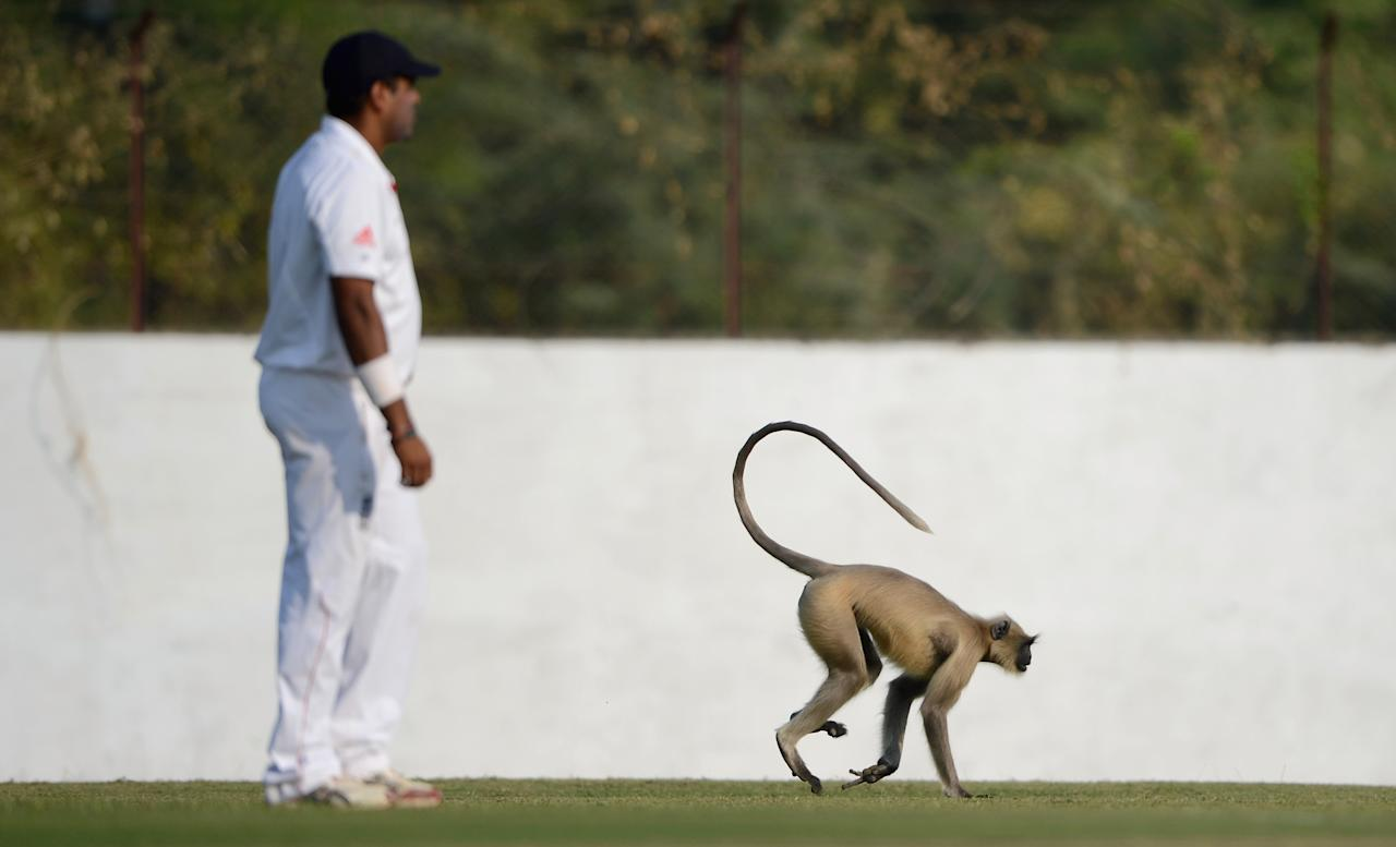 AHMEDABAD, INDIA - NOVEMBER 09:  A monkey invades the field during day two of the tour match between England and Haryana at Sardar Patel Stadium ground B on November 9, 2012 in Ahmedabad, India.  (Photo by Gareth Copley/Getty Images)
