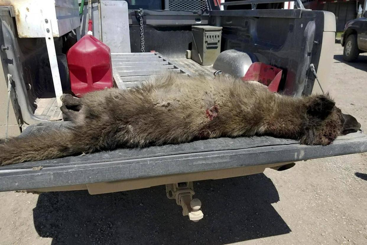 It is legal to hunt wolves in the state of Montana (AP)