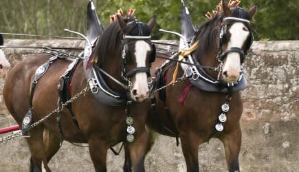 Clydesdale Horses in full tack
