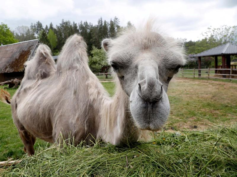 A two-humped or Bactrian camel: EPA