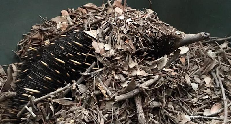 An echidna is pictured in leaves.