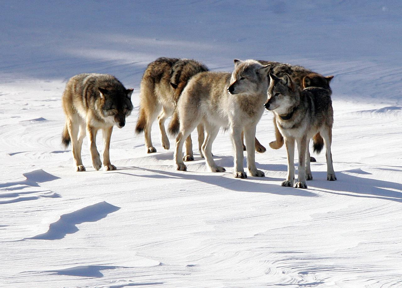FILE - In this Feb. 10, 2006, file photo provided by Michigan Technological University, a pack of gray wolves is shown on Isle Royale National Park in northern Michigan. An advance copy of a wolf-tracking report obtained by AP shows the number of gray wolves at Isle Royale National Park is down to 16, the lowest number since the late 1990s, and there may be only one or two females left.