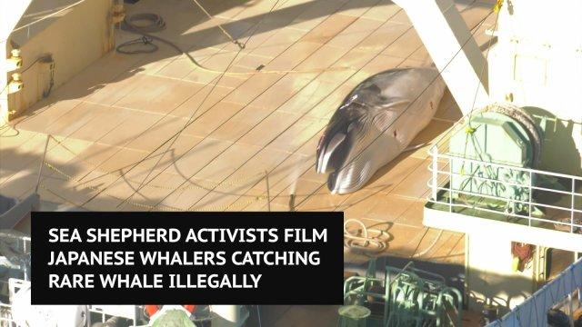 Sea Shepherd films Japanese whalers catching rare whale illegally