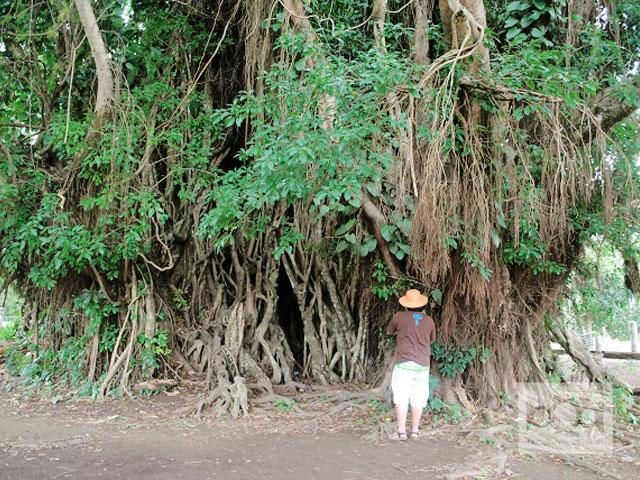 Centuries-old balete tree attracts tourists in Aurora town
