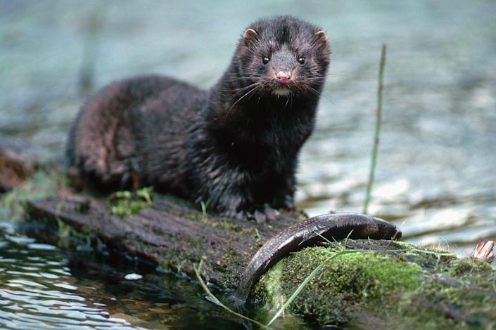 An American mink in the wild.
