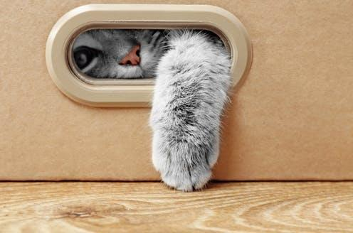 "<span class=""caption"">There is no need to quarantine your cat.</span> <span class=""attribution""><a class=""link rapid-noclick-resp"" href=""https://www.shutterstock.com/image-photo/cute-cat-cardboard-box-538309816"" rel=""nofollow noopener"" target=""_blank"" data-ylk=""slk:Africa Studio/Shutterstock"">Africa Studio/Shutterstock</a></span>"