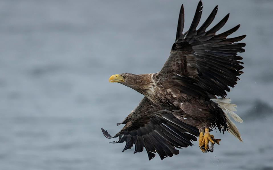 Golden eagles declined in England during the 19th century after persecution from farmers and gamekeepers - Getty Images