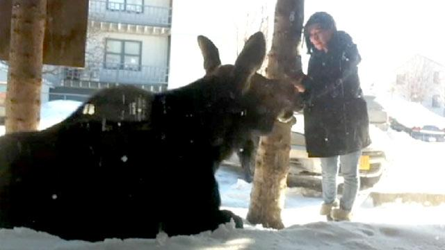 VIDEO: Beware Bullwinkle! Alaska Woman Pets Moose