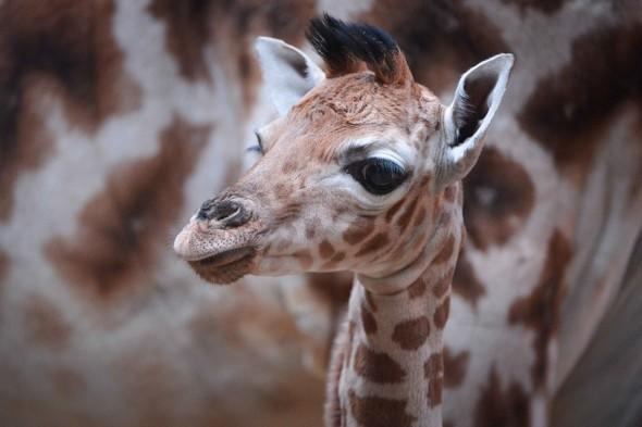 Beautiful rare baby Rothschild giraffe born at Chester Zoo