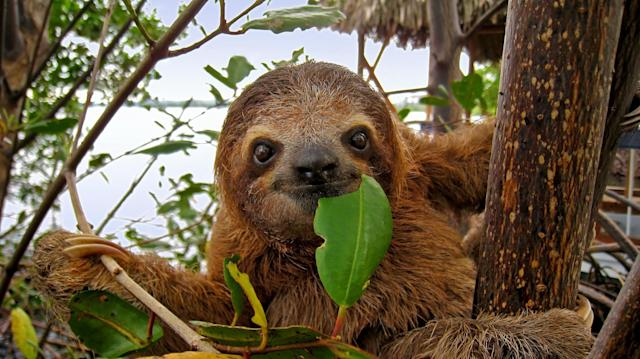 Baby Brown throated Three toed sloth in the mangrove, Caribbean, Costa Rica
