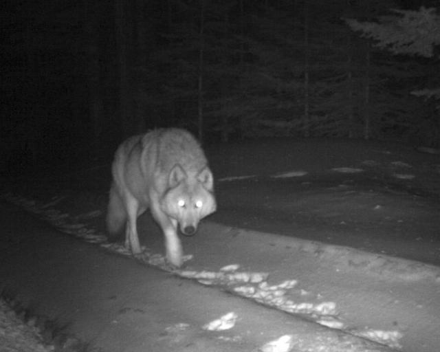 This Jan. 21, 2017 photo provided by the Oregon Department of Fish and Wildlife shows a Western gray wolf from the Walla Walla Pack seen by a remote camera in northern Umatilla County. (ODFW via AP)